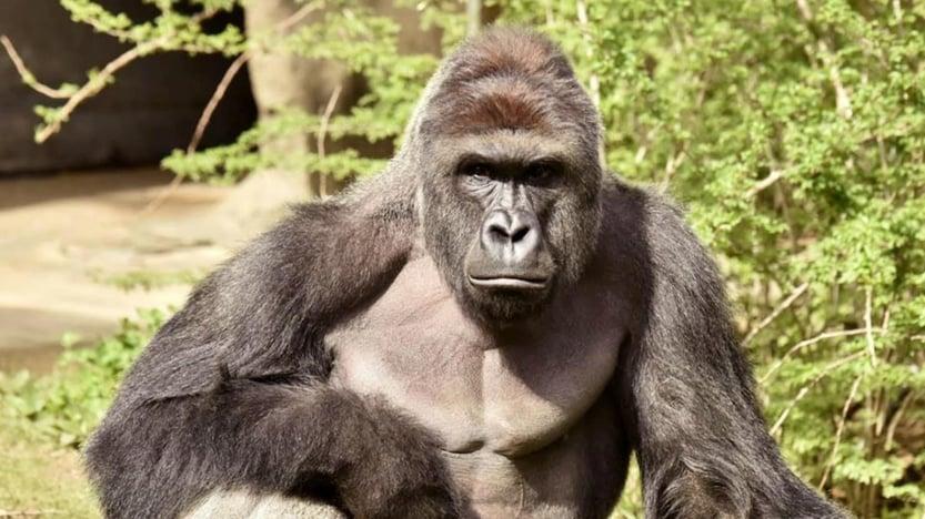 Gorilas.jpg